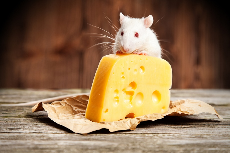 Pet rat with a large piece of cheese