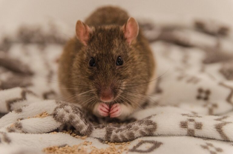 Do Pet Rats Bite? (Everything You Need to Know)