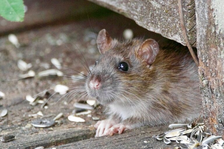 Why is My Rat Sneezing? (7 Common Reasons)